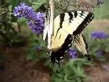Butterflies Polinating Butterfly Bush