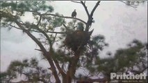 3 /13/14 SWFL Eagles..Wings,Sticks, Hissy fit & nest overs