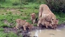 Lion family with cute cubs in Masai Mara, Kenya
