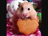 hamster num num