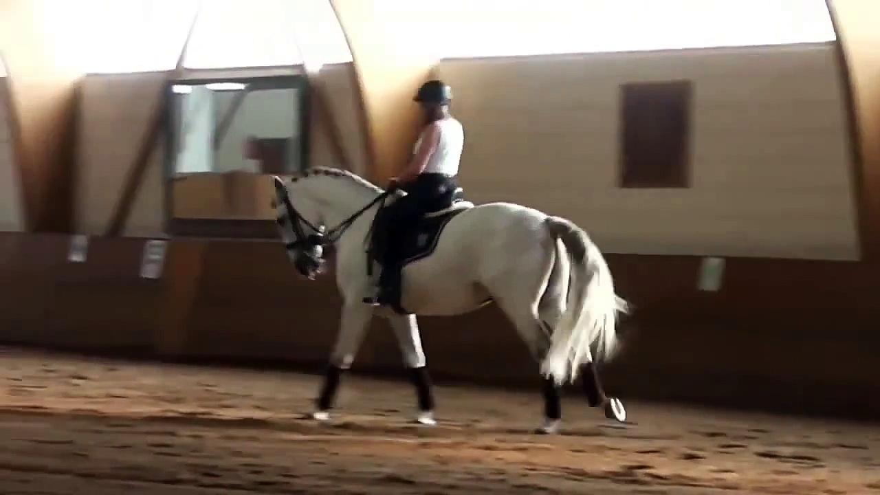 Grand Prix/ Grand Prix horse-  Pferd Lusitano -13j. Wallach