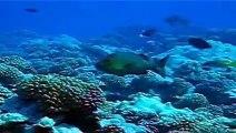 Scuba diving with sharks in French Polynesia - Plongée avec des requins en Polynésie Française