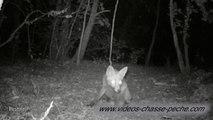 Renards de nuit - Piège photographique HD Bushnell Trophy Cam