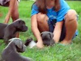 Illusion X Deven - Blue Moon Cane Corso Puppies 1 - [6 wks]