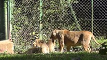Asiatic Lioness And Lion Cubs, Paignton Zoo (11th October 2013)