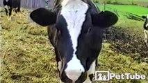 Camera Crazy Cow - PetTube