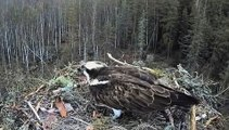 Osprey nest in Estonia,Madis brings a fish for Oxana & my oh my lol,4/28/13