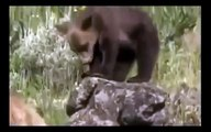 Grizzly Bears vs Wolves   Bear Fights Wolf Animal Nature Wildlife Documentary Full