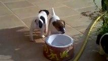 Jack Russell Parson terrier Korčula 2