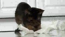 Abyssinian Cat Lazer Pounce!!