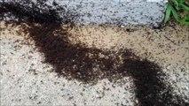 Invasion de fourmis rouges