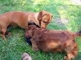 Wiener Wars Starring Annabel and Brownie