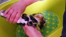 Italiandream, chiot Shih-Tzu de 3 mois : le bain