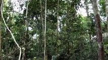 Sounds of birds Amazons, Lipaugus vociferans, Brazilian fauna,