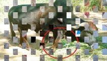 Chuyện lạ Việt Nam - Gà 4 chân - Bò 5 chân - Chó 6 chân