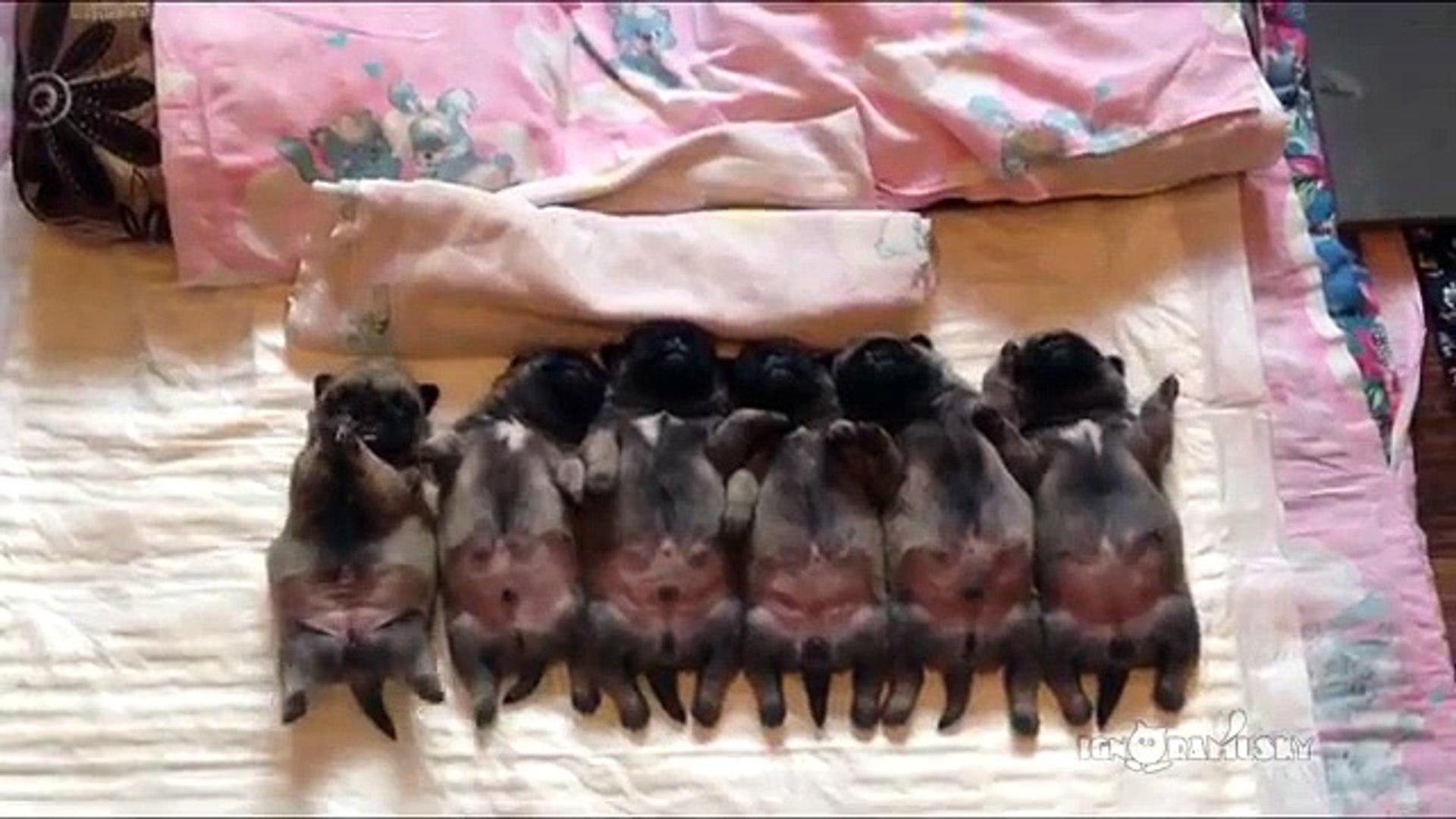 Line of sleeping  puppies (pugs) - Уснувший в ряд мопсов отряд