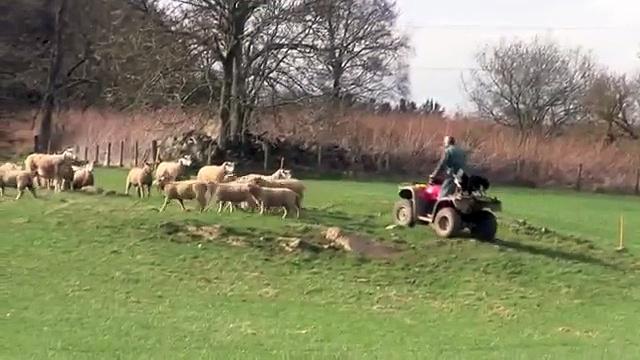 Feature Farms: Sheep