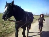 sirop    cheval de trait percheron