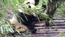 La Chine pour les Nuls par les Nuls - Chap. 5/9 - Le panda