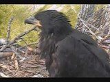 DECORAH EAGLES   5/13/2015  PM CDT PANNING-CLOSE UP OF EAGLETS