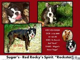 BostonTerrier Angels Puppies & Pets for Sale- Exceptional ACK puppies