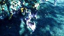 siberian husky puppies @ 8 weeks (luna's litter)