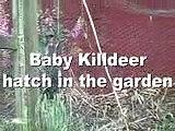 Killdeer newly hatched