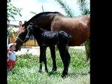 SPANISH HORSES CABALLO ESPAÑOL ANDALUSIAN HORSES CABALLO PRE