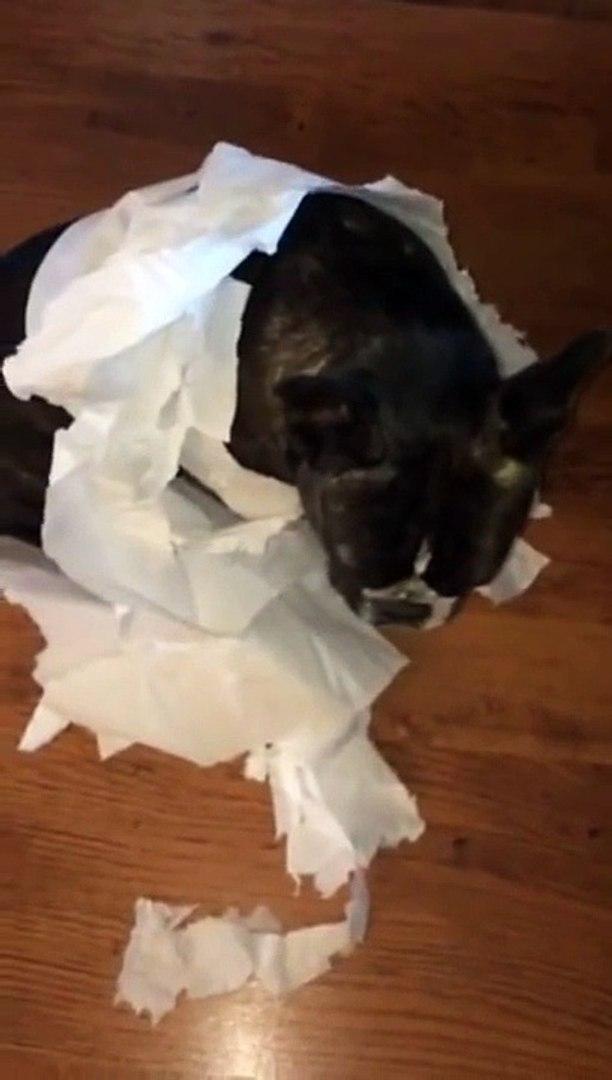 French Bulldog gets outed by his best friend/Французский бульдог сдал своего друга