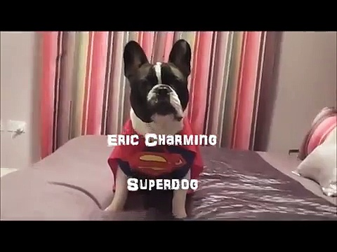 French Bulldog Superstar