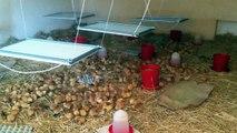 Chauffage à rayonnement infrarouge sain pour élevage de poulet