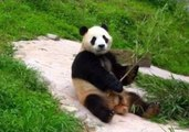 Panda Poses for Photos