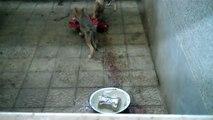 Feeding orphaned wolf pups at Kafkas University Veterinary Faculty, Kars, Turkey
