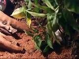 Boa constrictor imperator Costa Rica vs Mus musculus (Boa dusiciel vs. mysz)
