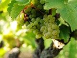 Dans les coulisses de Vignes, vins et randos : Jasnières et coteaux-du-loir