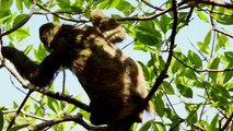 Science Today: Pygmy Sloths | California Academy of Sciences