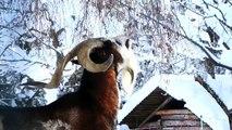 Ziegenbock Peter verursacht eine kleine Lawine!- Tauernschecken sind eine Salzburger Ziegenrasse, HD