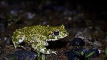 Bufo viridis (ropucha zelená) 24.5.2014 DSC_1175