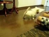 Lola Wagner - Filhote de Westie/Westie Puppy