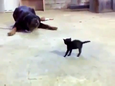 Small Kitty vs Rottweiler