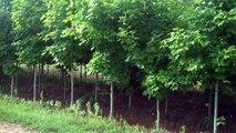 SADA BAHAAR FAST GROWING TREES BY DR ASHRAF SAHIBZADA