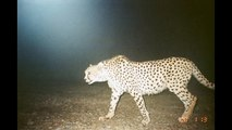 پارک ملی کویر -  Kavir National Park Camera Trap Iran persian cheetah caracal wolf desert lynx