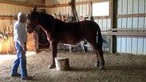 JON JON, gaited john mule for sale in Tennessee