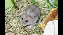 Alvin, hamster nain russe, cage Habitrail mini