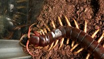Giant centipede eating mouse 2 - video dailymotion