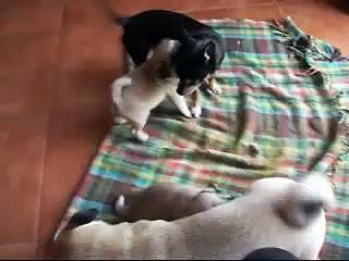 cucciolotti di carlino – pug