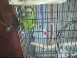 Bodhi the Blue Fronted Amazon Parrot