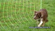 Dressage d'un chien de troupeau - Working sheepdog