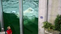 Zoo sauvage de St-Félicien, Quebec, Canada, Ours blancs polaire