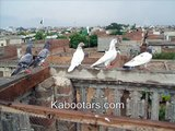 high flyer Pakistani tipplers kabootars pigeons kabootar